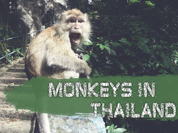 7 Best Places Where To See Monkeys In Thailand? (Safety Tips Included)